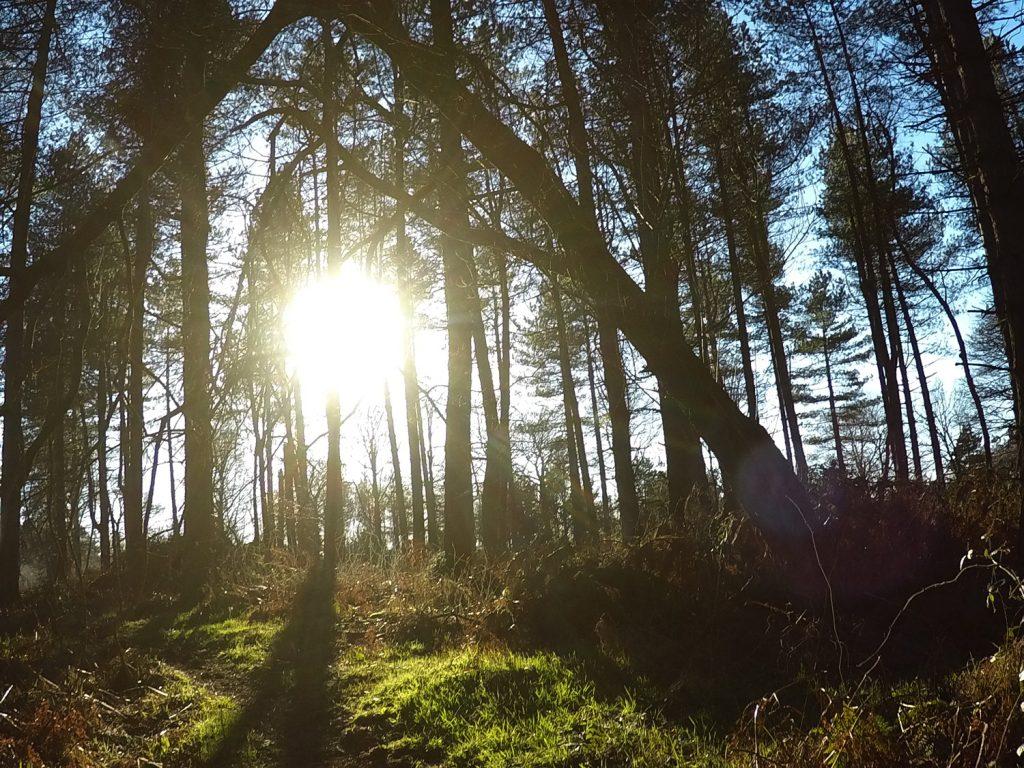 Sunshine trees Cannock Chase